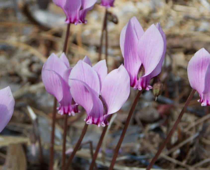 Sowbread (Cyclamen)